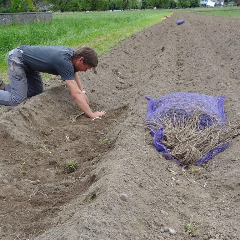 Spargel pflanzen 2010